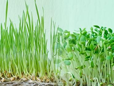 Семя подсолнечника